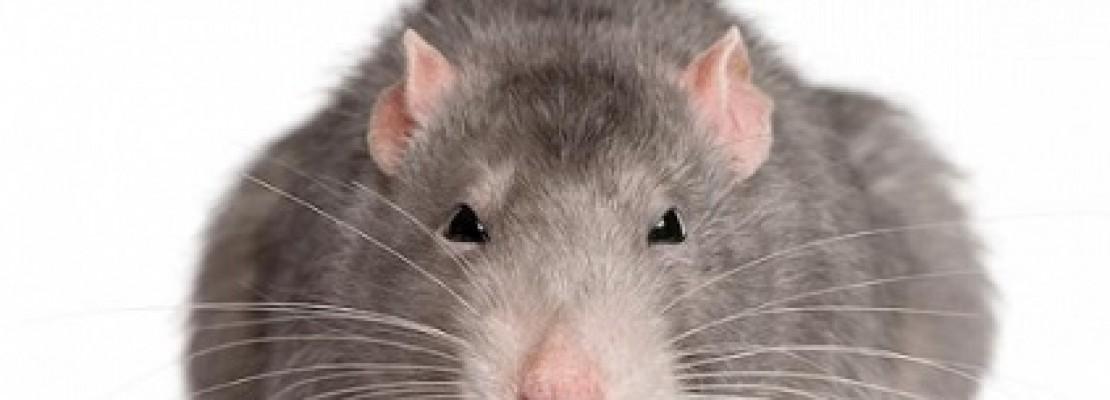 Eliminare i topi da casa: foto del topo in casa