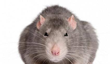 Come eliminare i topi da casa