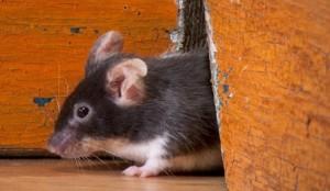 Eliminare i topi da casa