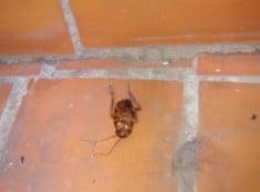 scarafaggio blatta in casa