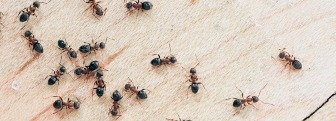 Una guida su come eliminare le formiche in casa.