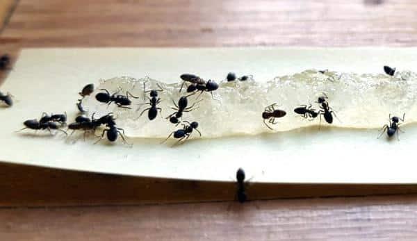 Una trappola usata per la disinfestazione da formiche.