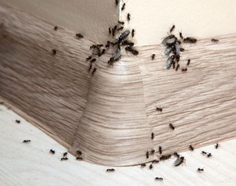 Un'infestazione di formiche in casa.